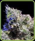 销售 -  Huckleberry  - 元素种子