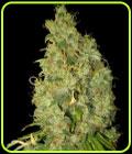 Försäljning - Northern Lights x Skunk - World of Seeds
