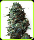 SALE - Afghan Kush - WLABEL-White Label Seeds