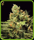 SALE - Big Bang Auto-flowering-Green House Seeds