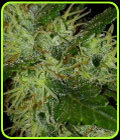 SALE - Prana Skunk-Prana Seeds