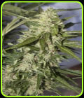 SALE - Auto Mazar-Dutch Passion Seeds