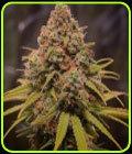Sequoia Strawberry