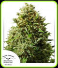 Think Different Auto-Dutch Passion Seeds