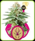 White Widow-Royal Queen Seeds