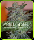 VENTA - Yumboldt 47 - World of Seeds