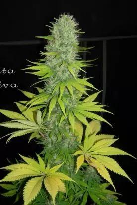 Santa Sativa  -  Dinafem Seeds