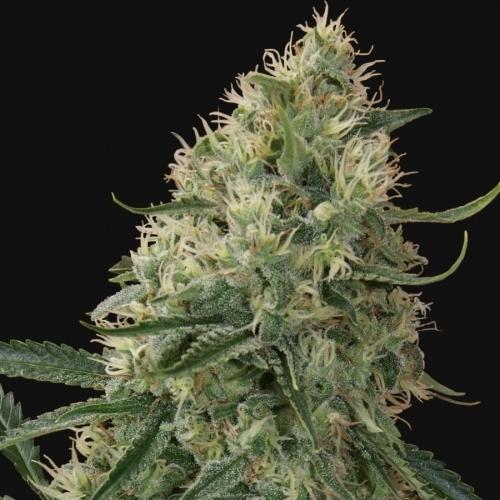 חטא Tra Bajo אוטומטי - Barneys Farm Seeds
