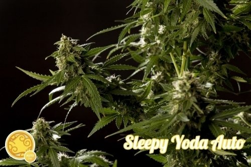 Sleepy Yoda Auto - Philosopher Seeds