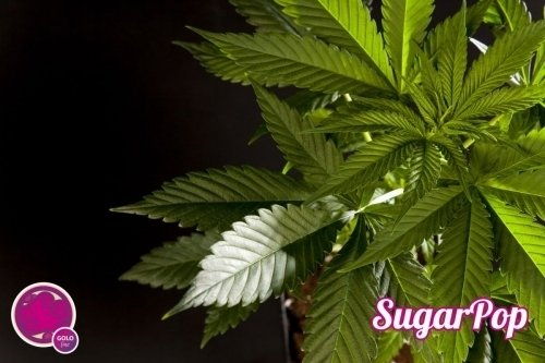 SugarPop  -  Philosopher Seeds
