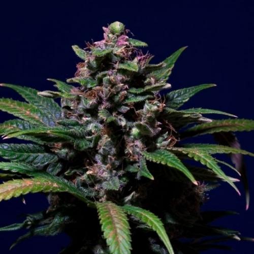Sladká fialová - Paradise Seeds