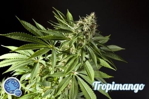 טרופימנגו - Philosopher Seeds
