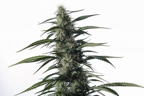 텍 사키 (TX-1) - Medical Marijuana Genetics