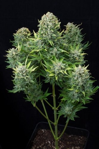 Hvit ost Autoflowering - Dinafem Seeds
