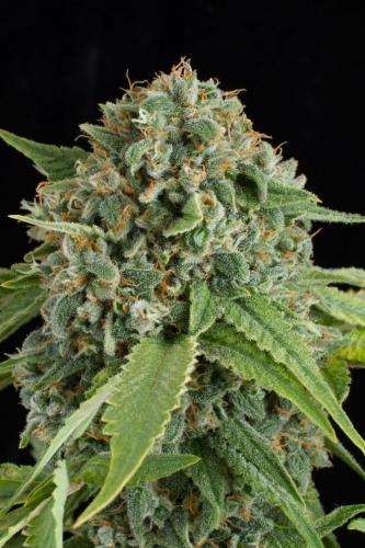 אלמנה לבנה Autoflowering - Dinafem Seeds