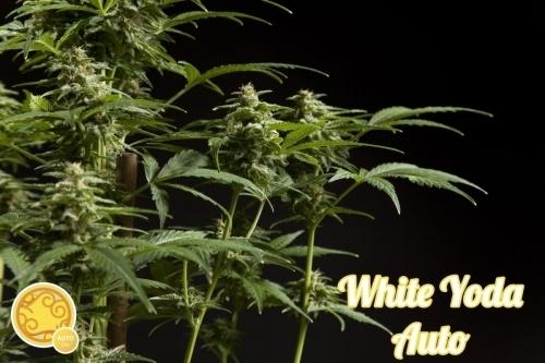 White Yoda Auto - Philosopher Seeds