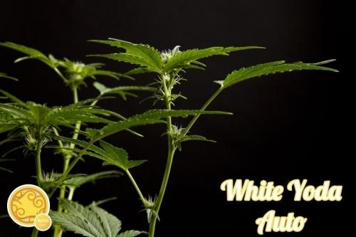 白色尤达汽车 -  Philosopher Seeds