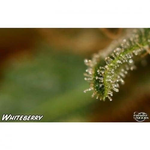 白浆果 -  Paradise Seeds