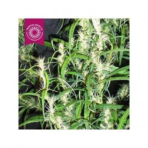赞比亚 -  Tropical Seeds