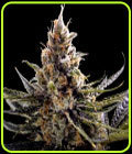 24K Gold - DNA Genetics Seeds