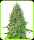 SALE - 2 Fast 2 Vast Auto - Heavyweight Seeds - Cannabis Seed Sale Items