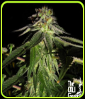 818 Headband aka Sour OG - Cali Connection Seeds