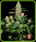 SALE - AK 47 - Serious Seeds - Cannabis Seed Sale Items