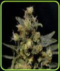 AK - CBD Seeds