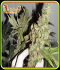 Afghan Cow - Dr Krippling Seeds