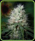 Afghani Dream - British Columbia Seeds