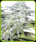 Afghanica - Flying Dutchman Seeds