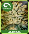 Alegria - Kiwi Seeds