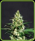 Amnesi-K - Kannabia Seeds