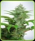 Auto CBD Star - Ministry of Cannabis