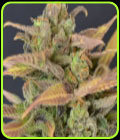 Auto Critical - CBD Seeds
