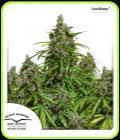 SALE - Auto Mazar - Dutch Passion - Cannabis Seed Sale Items