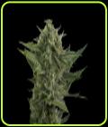 Auto Reek'n - Devil's Harvest Seeds