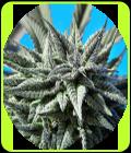 Auto Tao Blueberry - Top Tao Seeds