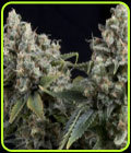 SALE - Auto Tutankhamon - Pyramid Seeds - Cannabis Seed Sale Items