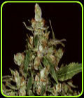 Auto Widow - CBD Seeds