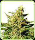 BCN Diesel CBD - Kannabia Seeds