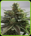 B-Cheese - Vulkania Seeds
