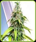 Banana Sativa - Holy Smoke Seeds