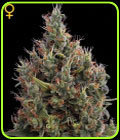 Big Bang Auto-flowering - Green House Seeds