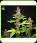 Bizarre - SickMeds Seeds