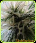 Black Destroyer - Original Sensible Seeds