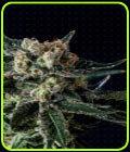 Black Diesel - Genofarm Seeds