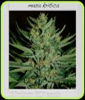 Blimburn BCN - Masa Kritica - BlimBurn Seeds