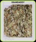 Blimburn America - Grandaddy Purple - BlimBurn Seeds