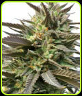 BlueBlood - Medicann Seeds